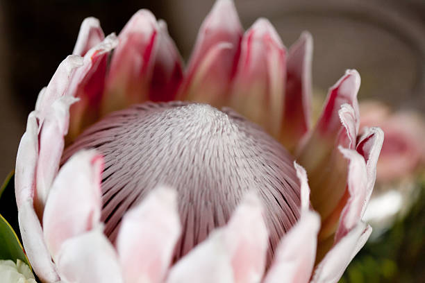 Protea Flower stock photo