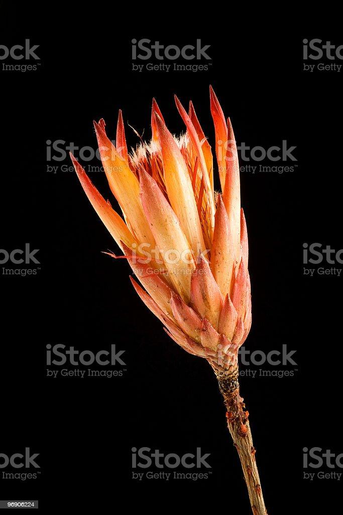 Protea Flower royalty-free stock photo