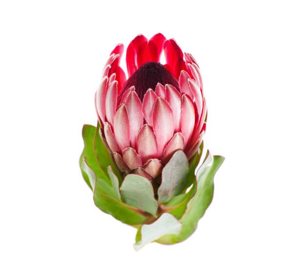 protea blume rot sharon nahaufnahme auf einer rein weißen hintergrund. - protea strauß stock-fotos und bilder