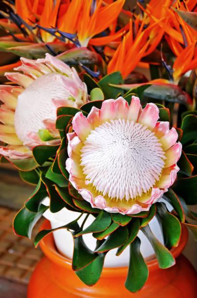 protea-blüten und paradiesvogel - protea strauß stock-fotos und bilder