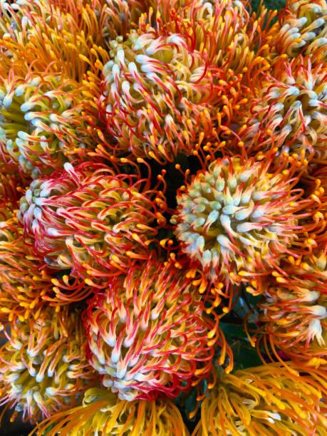 das protea blumen - protea strauß stock-fotos und bilder