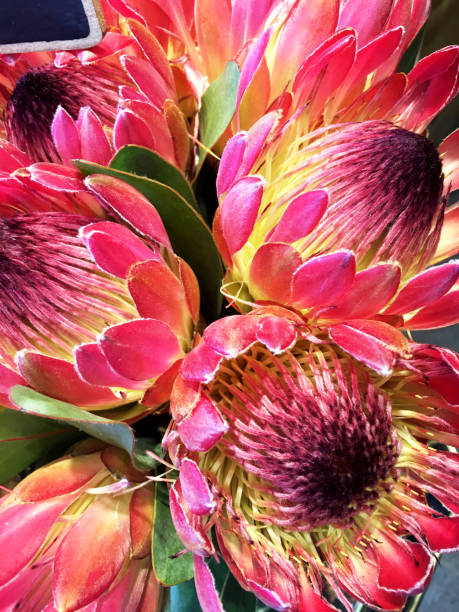 protea blumen - protea strauß stock-fotos und bilder