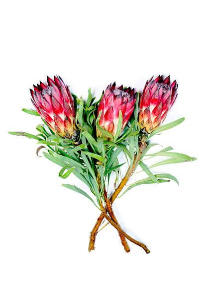 protea - protea strauß stock-fotos und bilder