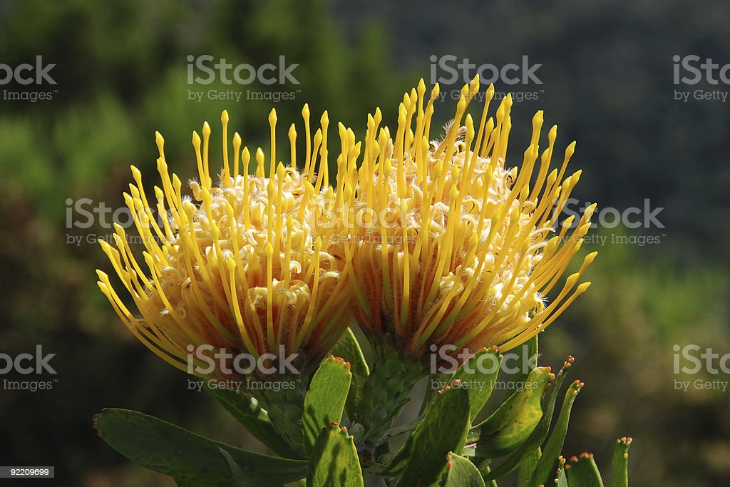 protea - Royalty-free Africa Stock Photo