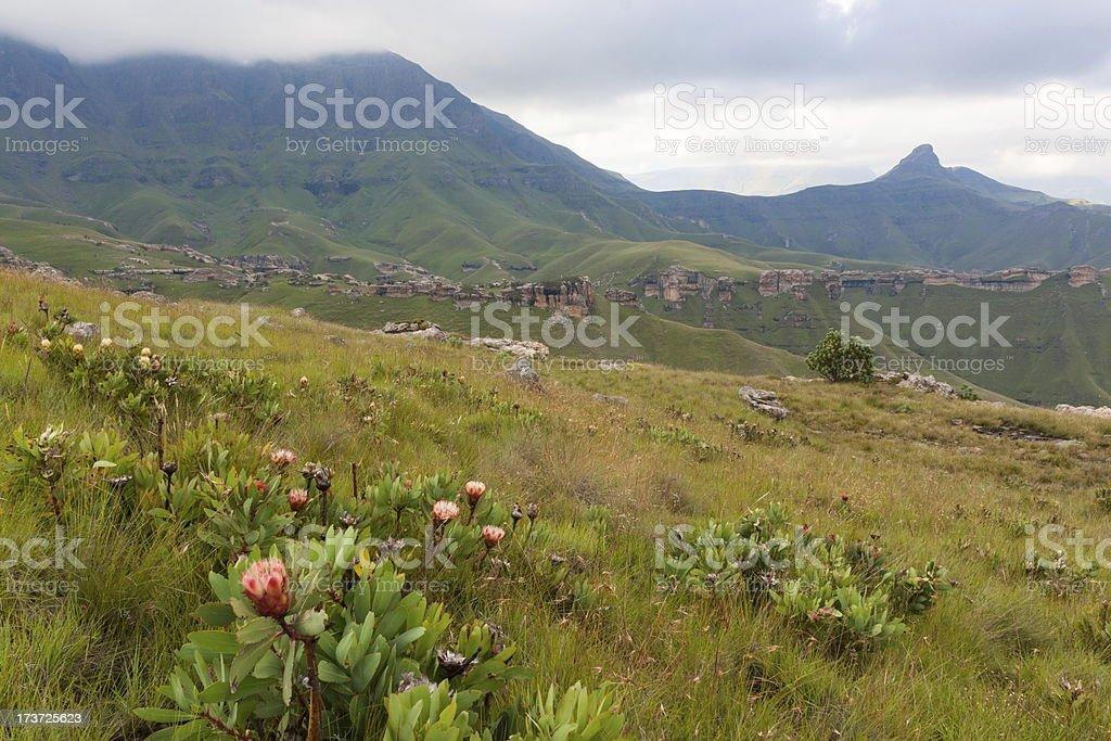 Proteas in the Maluti Mountains stock photo