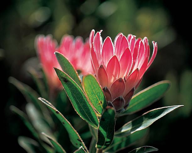 proteas - protea strauß stock-fotos und bilder
