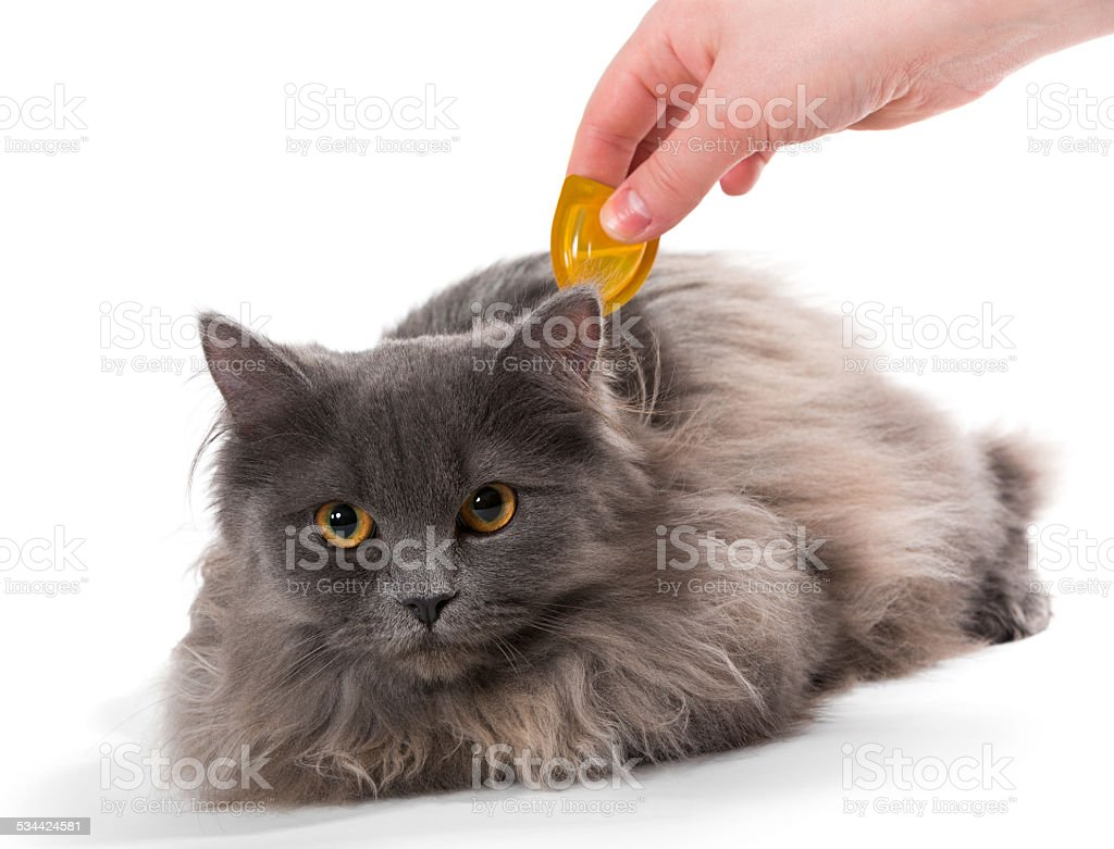 Protect the cat from ticks and fleas stock photo