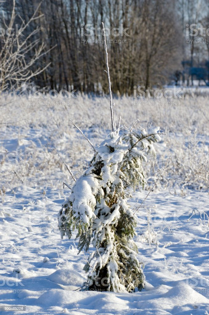 Protected with fir branches young apple tree in winter stock photo
