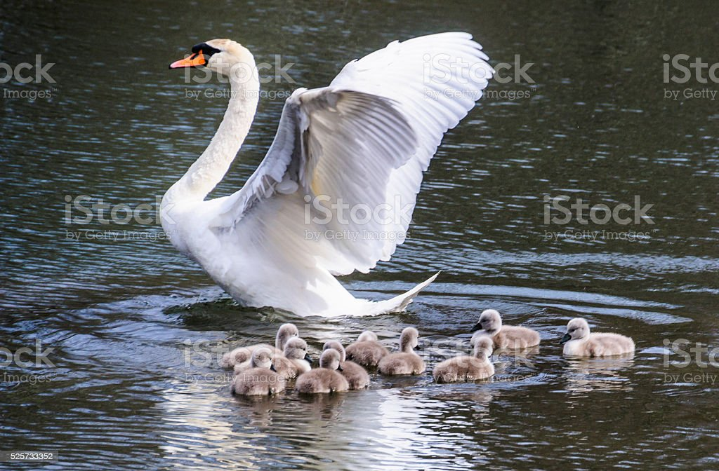 Protecting her Brood stock photo