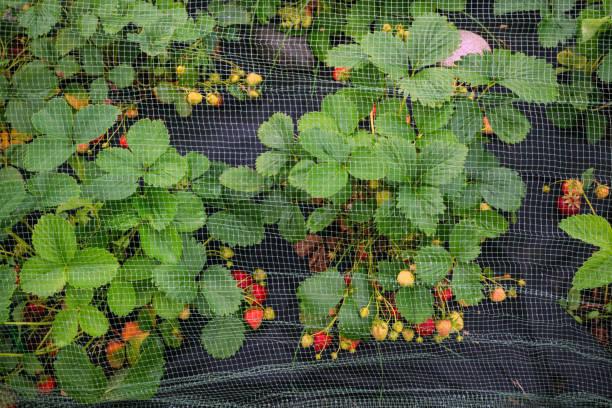 bescherming van de oogst van de rijpe rode aardbeien gaas op de bogen in de tuin in de tuin. - gaas stockfoto's en -beelden