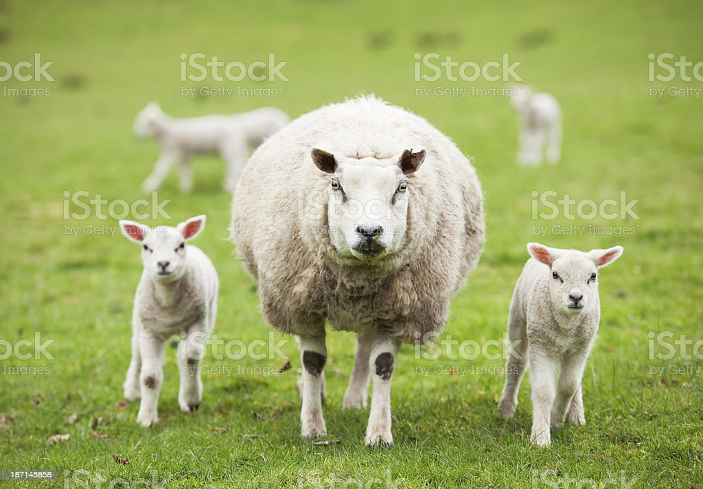 Protective ewe with lambs stock photo