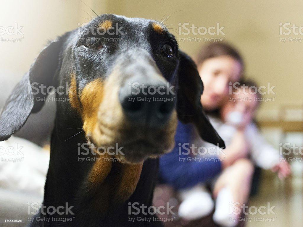 Protective guard dog stock photo