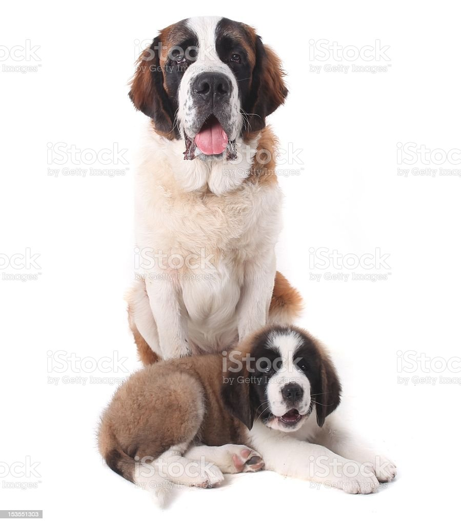 Protective Loving Saint Bernard Puppies Together  stock photo