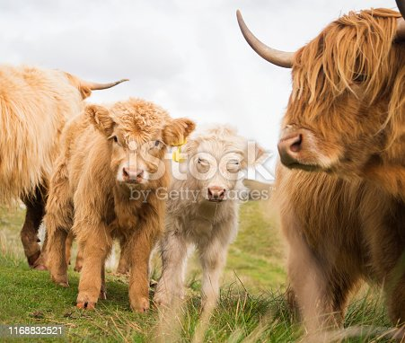 Two adorable calves stand near their mother on the moor. Highland cattle, or hairy coos, are a distinctive pedigree breed with long, thick flowing hair and sweeping horns that date from 1884 that thrive in difficult climates and conditions, Isle of Lewis, Outer Hebrides, Scotland, UK, Europe