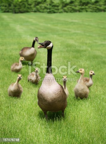 Angry mother protecting her babies. Zoom in and check out the expressions on the gosling's faces – very expressive.