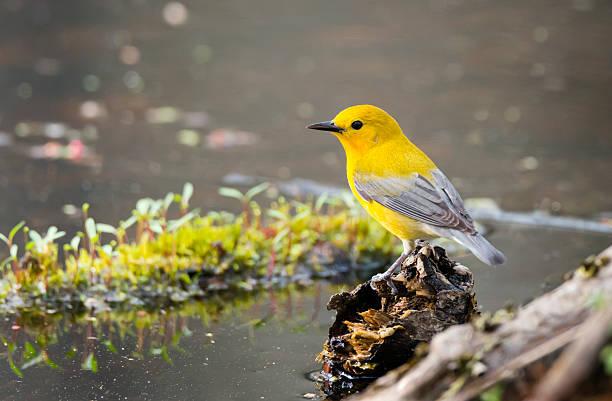 prothonotary warbler in springtime, rare bird in canada, male - amerikaanse zangers stockfoto's en -beelden
