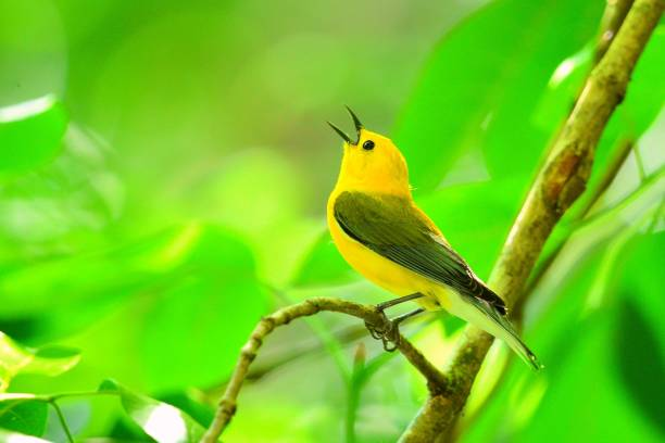 Prothonotary Warbler A prothonotary warbler sings while perched on a branch. songbird stock pictures, royalty-free photos & images