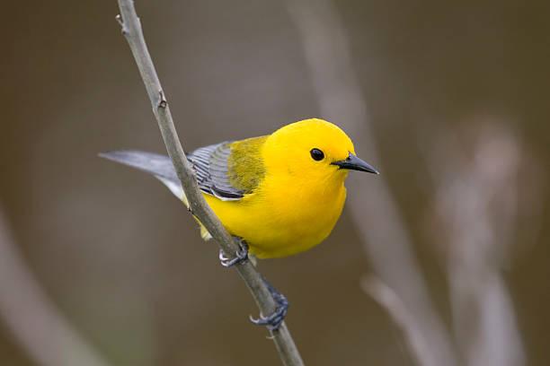 prothonotary warbler (protonotaria citrea) - amerikaanse zangers stockfoto's en -beelden