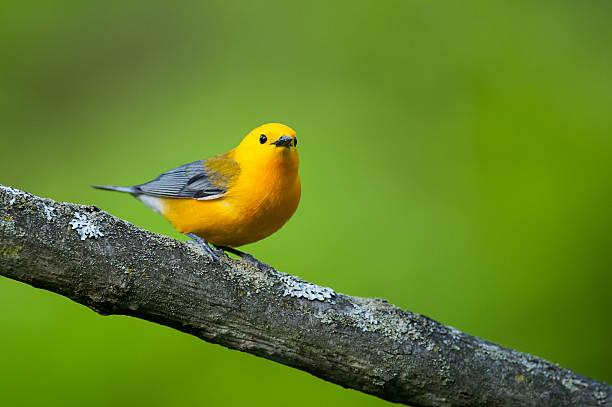 prothonotary warbler - zanger vogel stockfoto's en -beelden