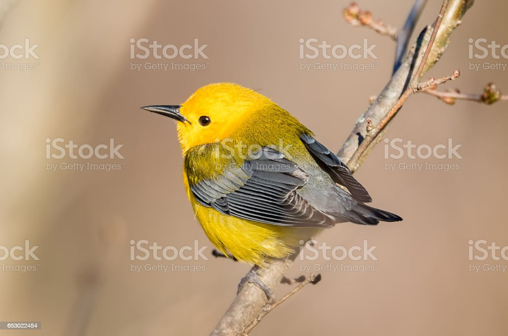 Prothonotary Warbler stock photo