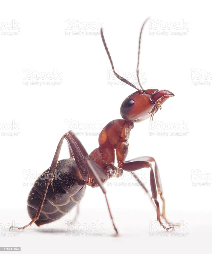 proud ant formica rufa stock photo