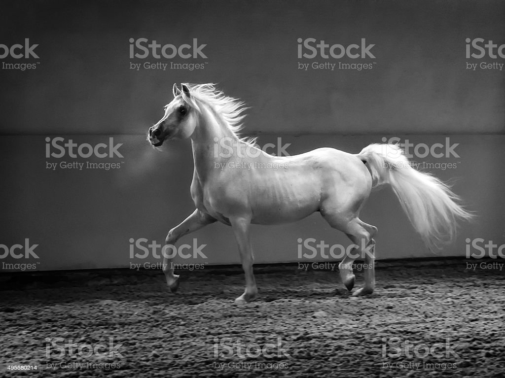 proud arabian horse - stallion in shining light stock photo