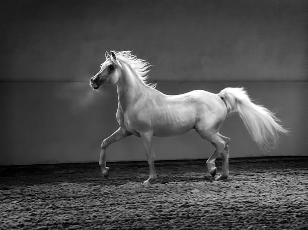 proud arabian horse - stallion in shining light proud arabian horse - stallion in shining light. Monochrom arabian horse stock pictures, royalty-free photos & images