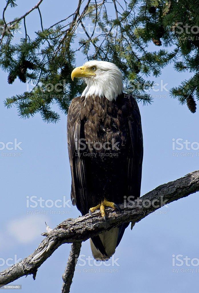 Proud Bald Eagle Parent 1 stock photo
