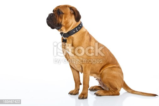 A proud female bullmastiff dog sits on a seamless white background