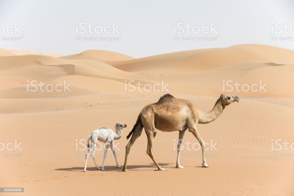 Proud camel mother walking with her baby. stock photo