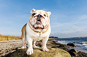 Five year old British Bulldog adopting a rather coquettish pose for the camera.More Bugs & Pets here