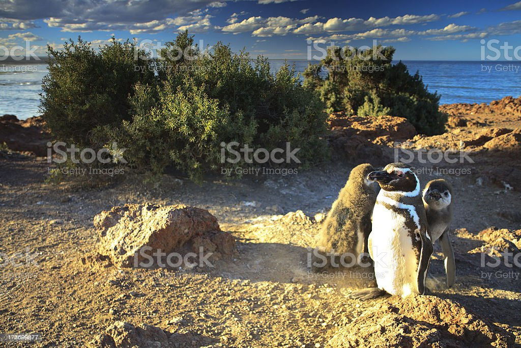 Proud Daddy Penguin stock photo