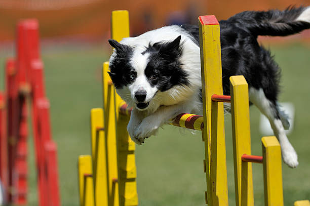 Proud dog jumping over obstacle Border Collie on agility course, over the jump agility stock pictures, royalty-free photos & images