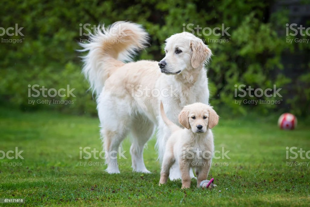 Proud dog mother with her puppy stock photo