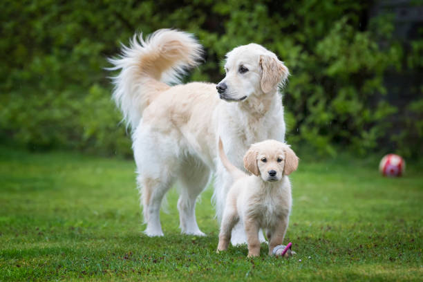 proud dog mother with her puppy - golden retriever stock photos and pictures