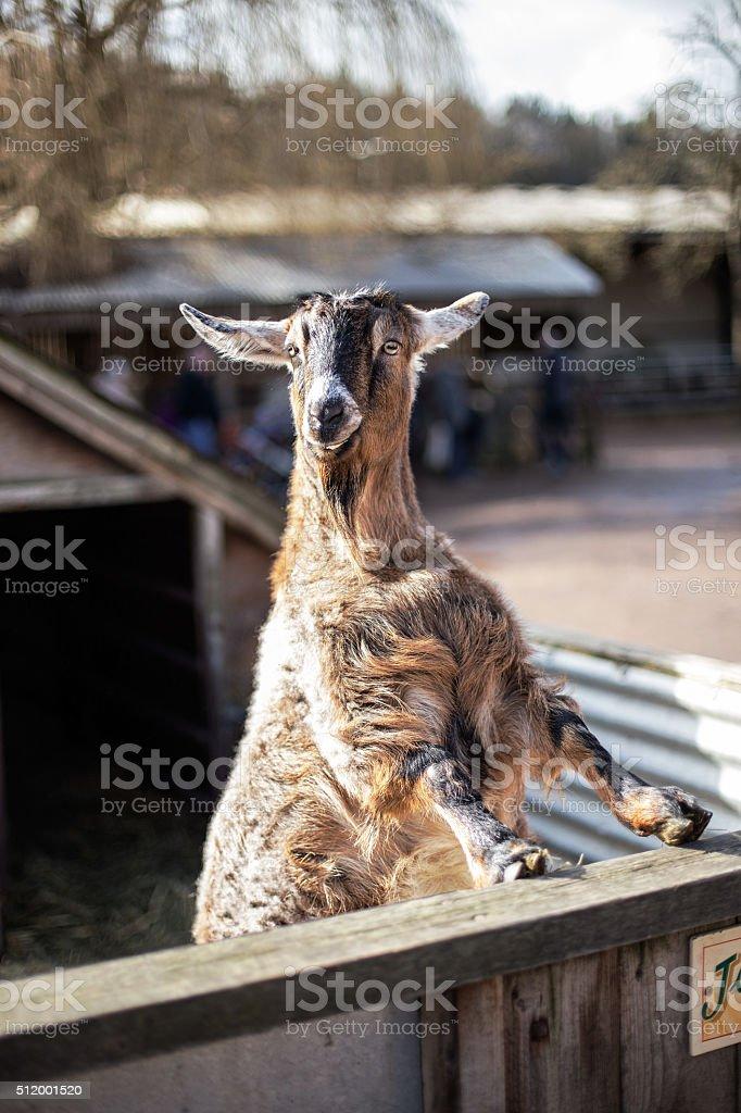 Proud Goat Portrait stock photo
