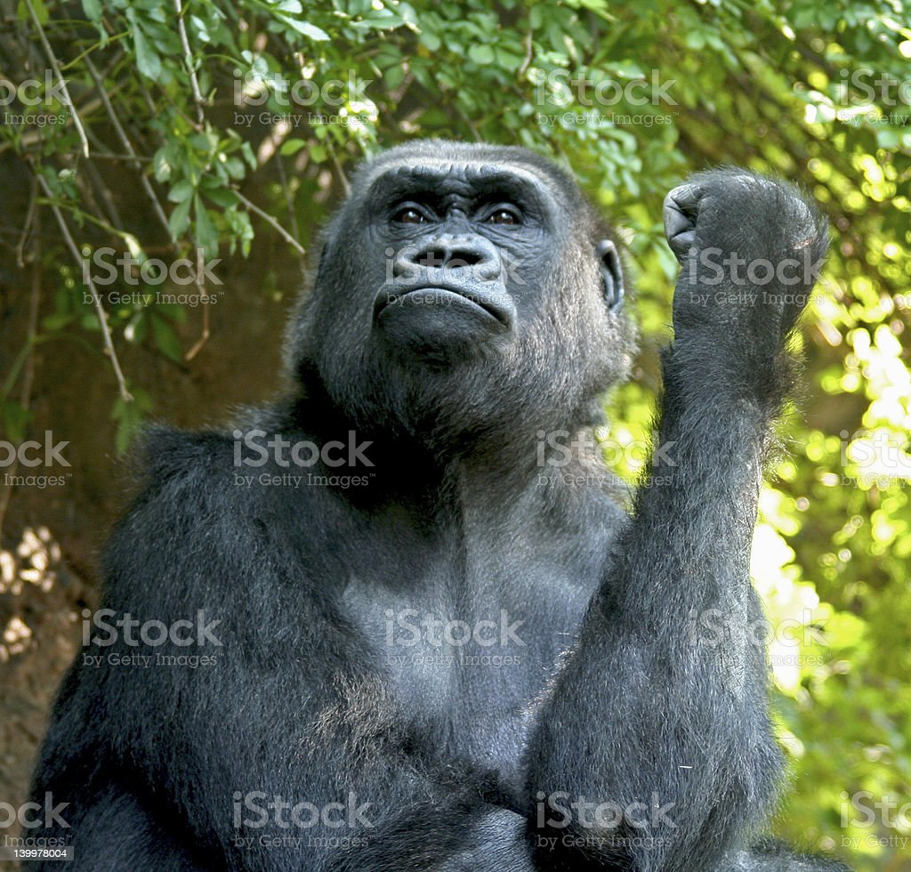 Proud Gorilla stock photo