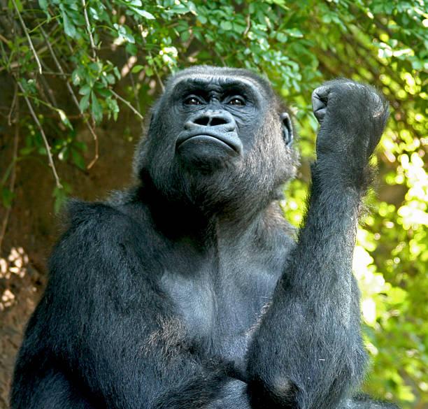 Orgulloso Gorilla - foto de stock