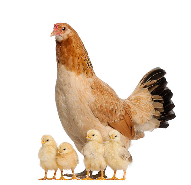 Proud hen with its chicks on white background stock photo
