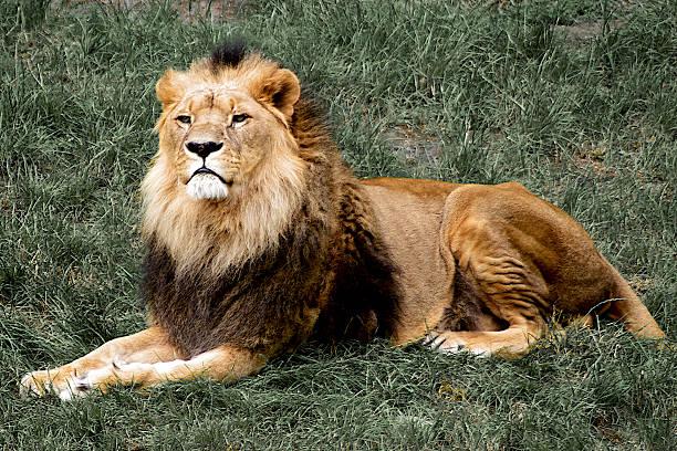 stolz lion liegen auf gras - puma king stock-fotos und bilder