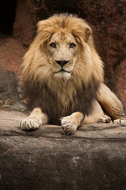 Stolze männlichen Löwen (Panthera leo) – Foto