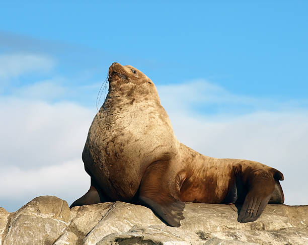 proud male wild steller sea lion - naturediver stock pictures, royalty-free photos & images