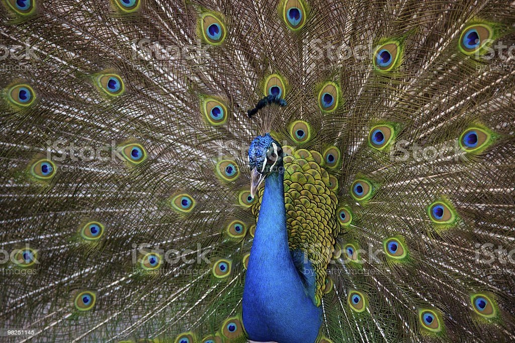 proud peacock royalty-free stock photo