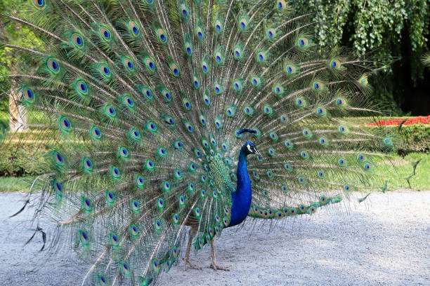 Proud peacock showing its beautiful feathers with eye-like markings stock photo