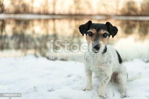 Proud small dog is standing in a white meadow in the snow in winter in the evening light- Cute Jack Russell Terrier hound, 8 years old, hair type broken