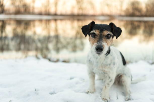 Stolz darauf, dass der kleine Hund sitzt auf einer weißen Wiese im Schnee im Winter in den Abend-Licht - süße Jack-Russell-Terrier Hund, 8 Jahre alt, Haartyp gebrochen – Foto