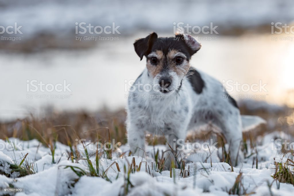 Proud Small Dog Is Standing In A White Meadow In The Snow In Winter ...