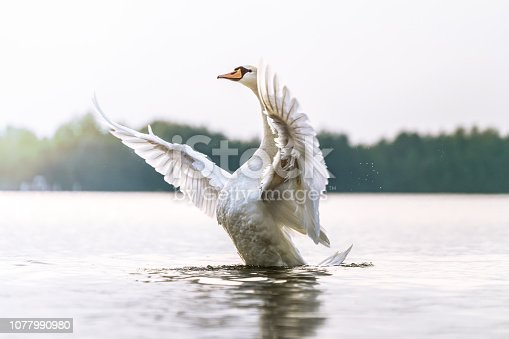 Proud swan shows his chest, beautiful bird