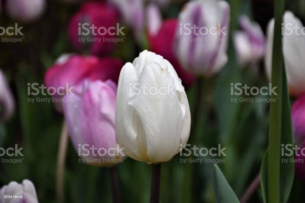 Tulipe blanche fier photo libre de droits