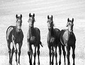 proud young horses - boy gang - monochrome